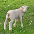 Little Lamb — Stock Photo #17169817