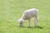 Jagnięcina w pastwiska — Zdjęcie stockowe