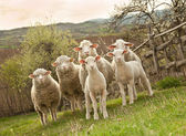 Sheep and lambs — Stock Photo