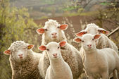 Sheep and lambs — Stockfoto