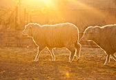 Sheep at sunset — Stock Photo