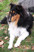 Sable collie — Stock Photo