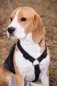 Beagle — Stockfoto