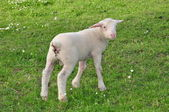 Little Lamb — Stock Photo