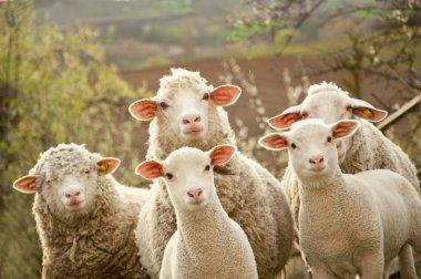 Sheep and lambs