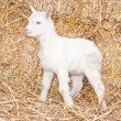 A baby goat - Stock Photo