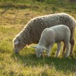 Sheep and its lamb — Stock Photo