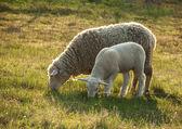 Sheep and its lamb — Stock Photo