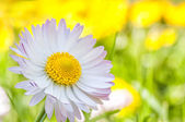 Beautiful daisy — Stock Photo