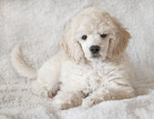 Puppy podle — Stock Photo