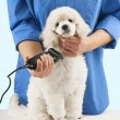 Stock Photo: Poodle grooming
