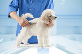 Poodle grooming — Stock Photo