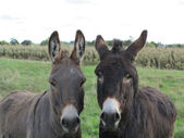 Two donkeys in the meadow — Stock Photo