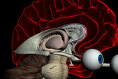 Human brain scan — Stock Photo