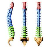 脊椎-颜色零件 — 图库照片