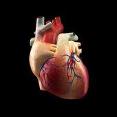 Real Heart Isolated on black - Human Anatomy model — Stock Photo