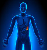 Medical Imaging - Male Organs - Spleen — Stock Photo