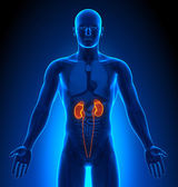 Medical Imaging - Male Organs - Kidneys — Stock Photo