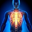 Rib Cage Sternum - Anatomy Bones — Stock Photo
