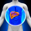 Stock Photo: Medical X-Ray Sc- Liver