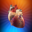 Anatomy Heart - Painted concept — Stock Photo