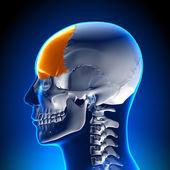 Brain Anatomy - Frontal lobe — Stock Photo