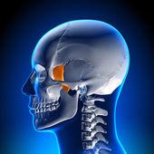 脳の解剖学 - 涙骨 — ストック写真