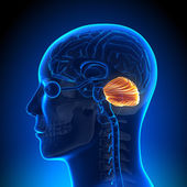 Beyin anatomisi - beyincik — Stok fotoğraf