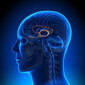 Brain Anatomy - Limbic System — Stock Photo