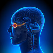 Brain Anatomy - Optical Nerve Eye — Stock Photo