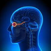 Brain Anatomy - Optical Nerve Eye — Stock Photo