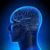 Beyin anatomisi - beyin mavi boş — Stok fotoğraf