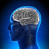 Brain Anatomy - Brain White Blank — Stock Photo