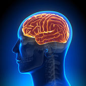 Brain Anatomy - Brain full — Foto Stock