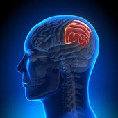 Brain Anatomy - Parietal lobe — Stock Photo