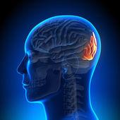 Brain Anatomy - Occipital lobe — Stock Photo