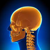 Beyin anatomisi - vurgulanan kafatası — Stok fotoğraf