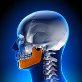 Brain Anatomy - Mandible — Stock Photo