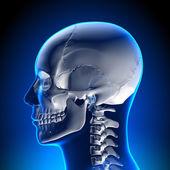 Brain Anatomy - White Skull — Stock Photo
