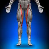 Sartorius - Anatomy Muscles — Stock Photo