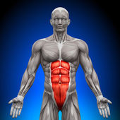 Abs - Anatomy Muscles — Stock Photo