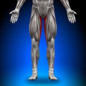 Gracilis - Anatomy Muscles — Stock Photo