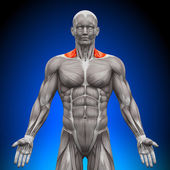 Trapezius Front Neck Muscles - Anatomy Muscles — Stock Photo