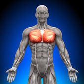 Chest Pectoralis Major Pectoralis Minor - Anatomy Muscles — Stock Photo