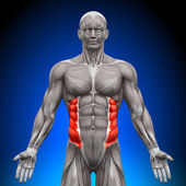 External Oblique - Anatomy Muscles — Stock Photo