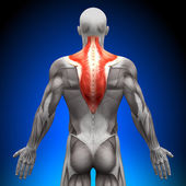 Trapezius - Anatomy Muscles — Stock Photo