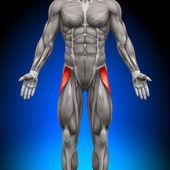 Tensor Fasciae Latea - Anatomy Muscles — Stock Photo