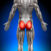 Glutes Gluteus Maximus - Anatomy Muscles — Stock Photo