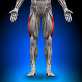 Vastus Lateralis - Anatomy Muscles — Stock Photo
