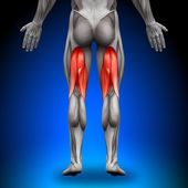 Hamstrings - Anatomy Muscles — Stock Photo